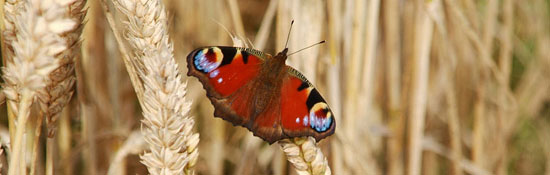 Butterfly Displays a larger version of this image in a new browser window