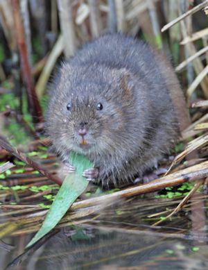 Riparian Water Vole