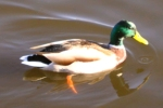 Hogganfield Loch & Park - Duck Displays a larger version of this image in a new browser window