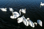 Hogganfield Loch & Park - Swans Displays a larger version of this image in a new browser window