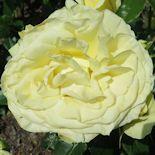 13. Limona (1)